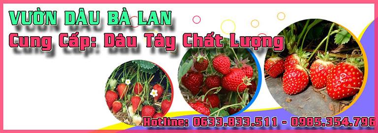 vườn dâu gần Hồ Xuân Hương Đà Lạt